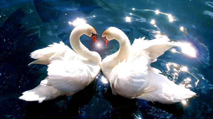 Лебеди - символ чистой любви
