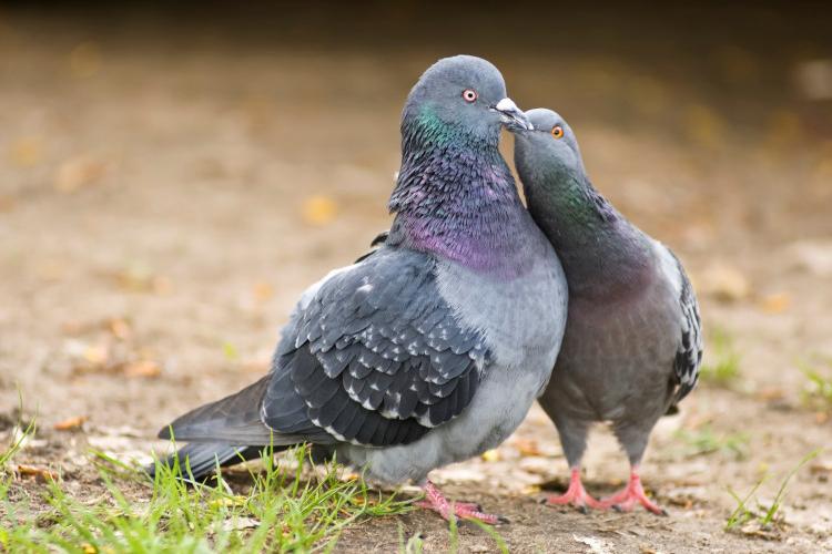 Любимые голубки